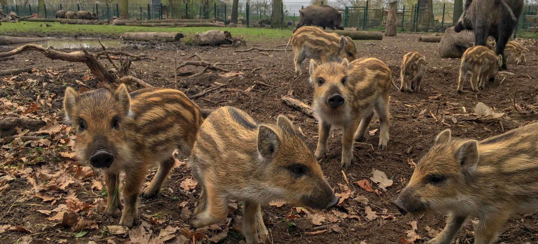 Wildschweine mit Frischlingen im Wildpark Weißewarte