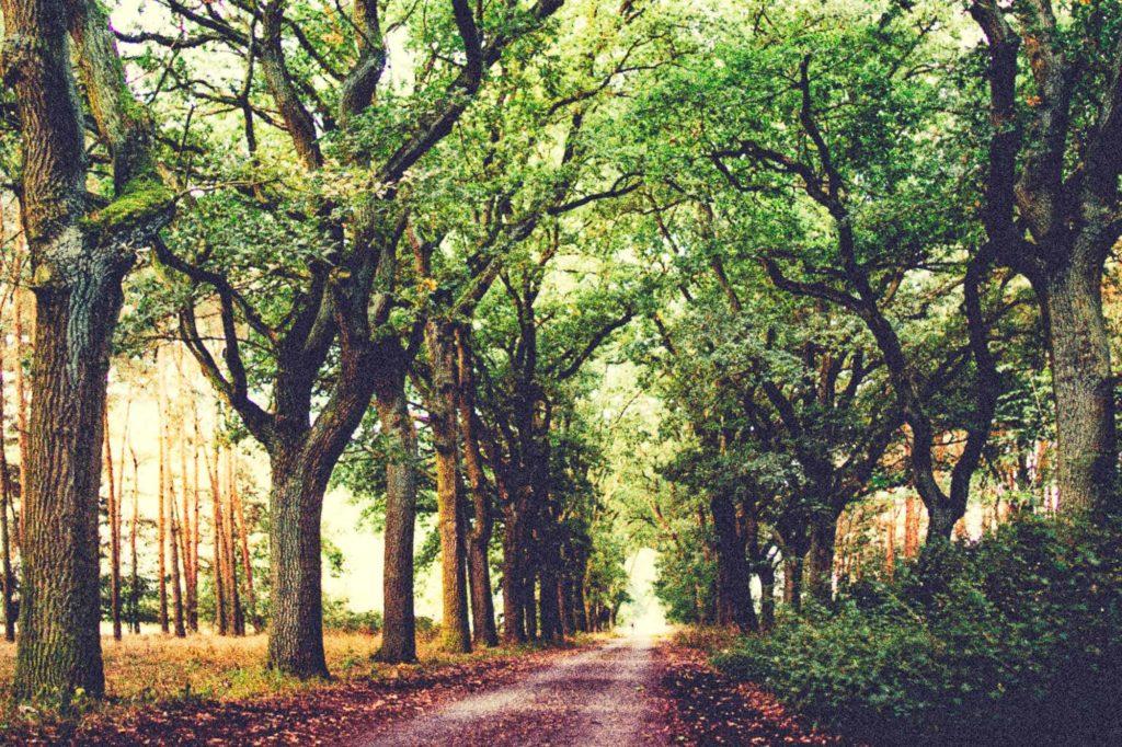 Majestätische Bäume am Waldweg