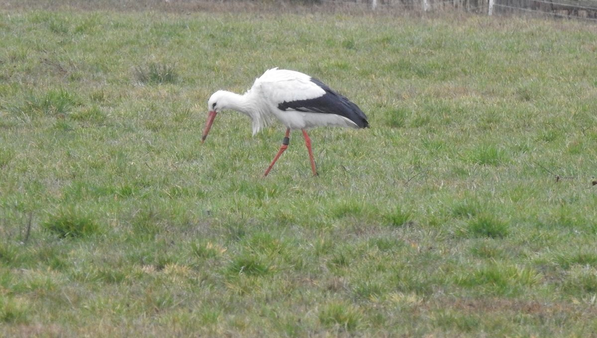 Storch in Vissum